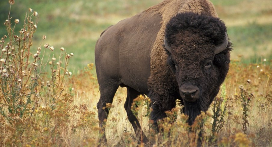 That's a bison.